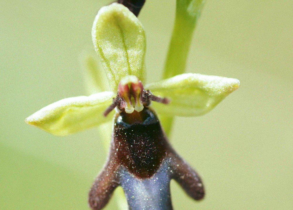ophrys mouche ophrys insectifera